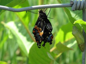 July 5 Butterfly Count